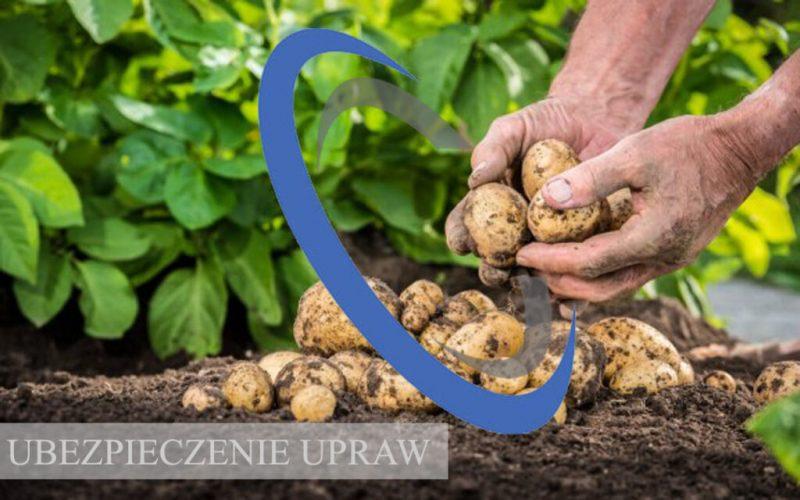 uprawy ziemniaki kopia